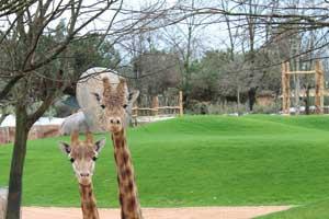 """La mia Africa a Torino: il primo """"walk safari"""" italiano tra giraffe e zebre"""