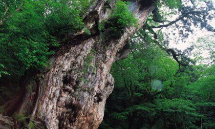 Yakushima e l'albero più antico del Giappone